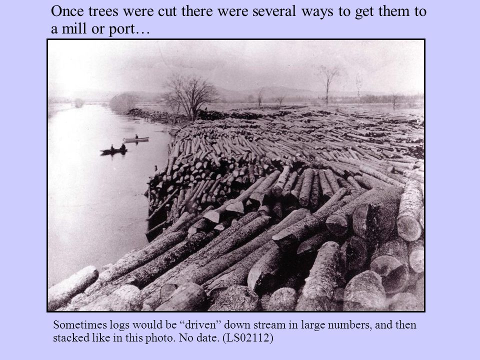 Once trees were cut there were several ways to get them to a mill or port… Sometimes logs would be driven down stream in large numbers, and then stacked like in this photo.
