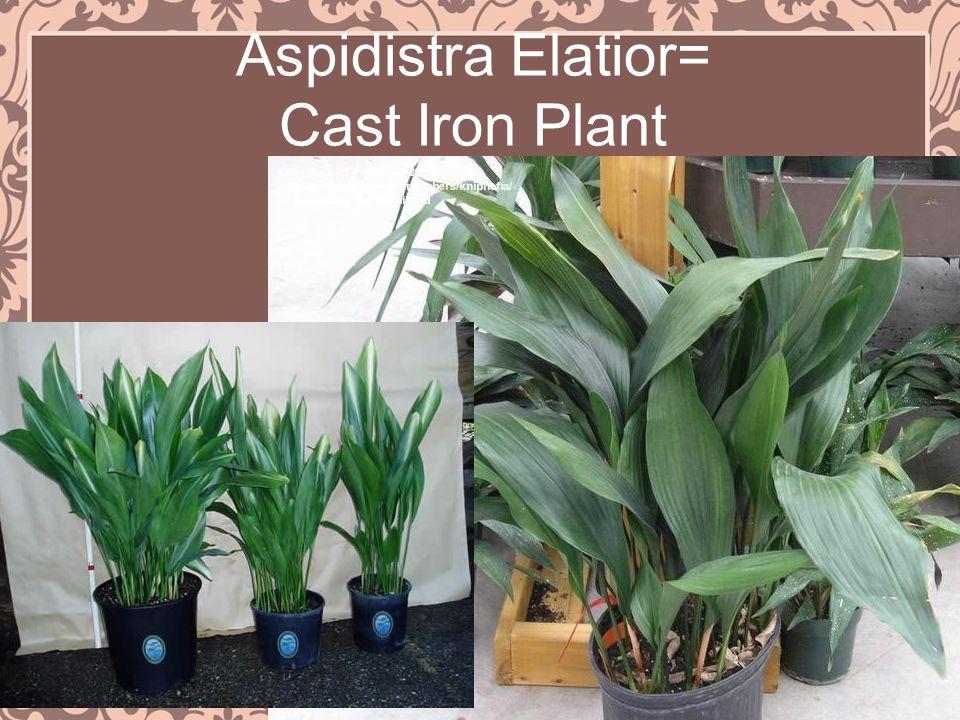 Aspidistra Elatior= Cast Iron Plant