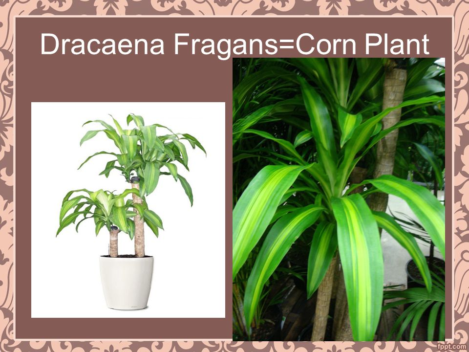 Dracaena Fragans=Corn Plant