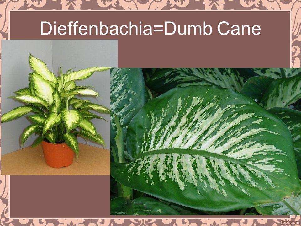 Dieffenbachia=Dumb Cane