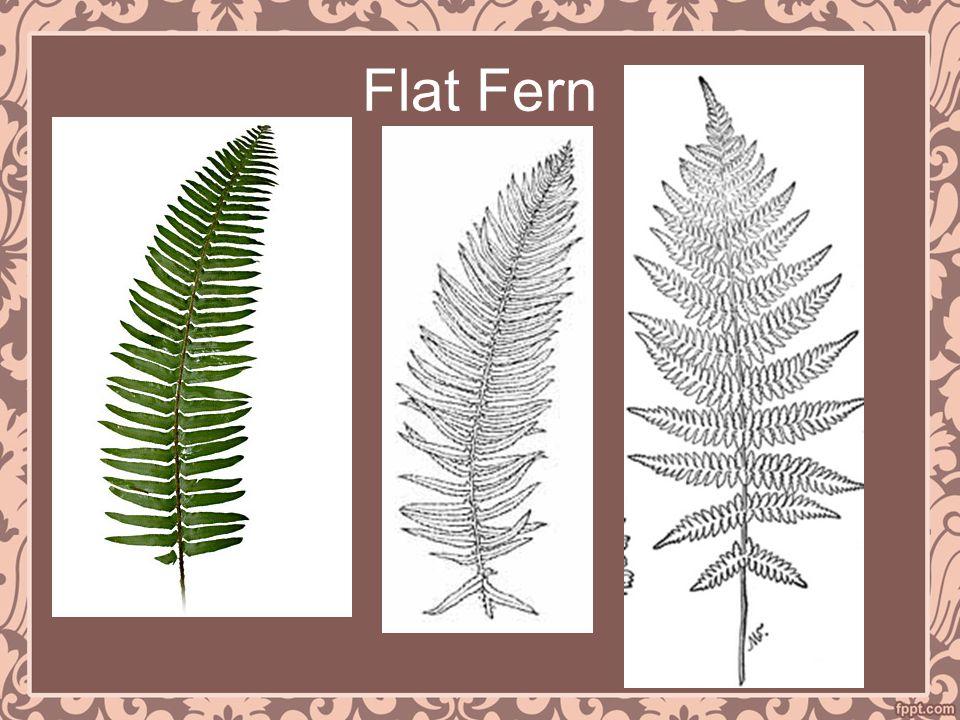 Flat Fern