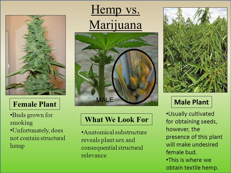 Hemp vs. Marijuana Female Plant What We Look For Buds grown for smoking Unfortunately, does not contain structural hemp Anatomical substructure reveal