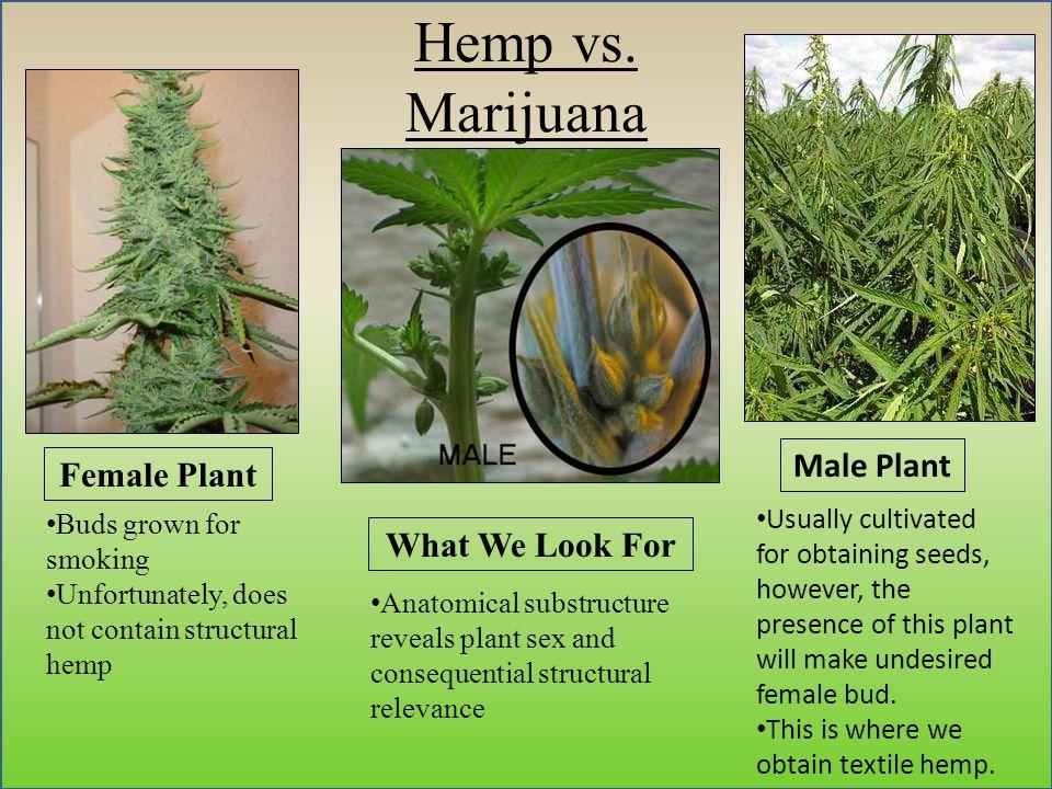 Hemp vs.