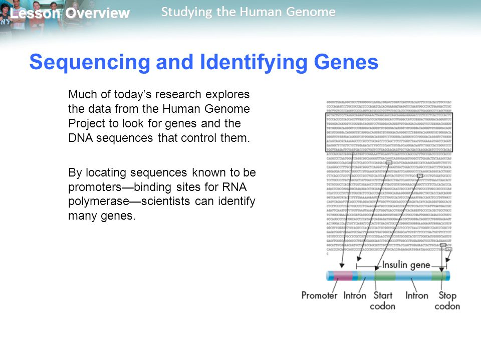Lesson Overview Lesson Overview Studying the Human Genome Sequencing and Identifying Genes Much of today's research explores the data from the Human G