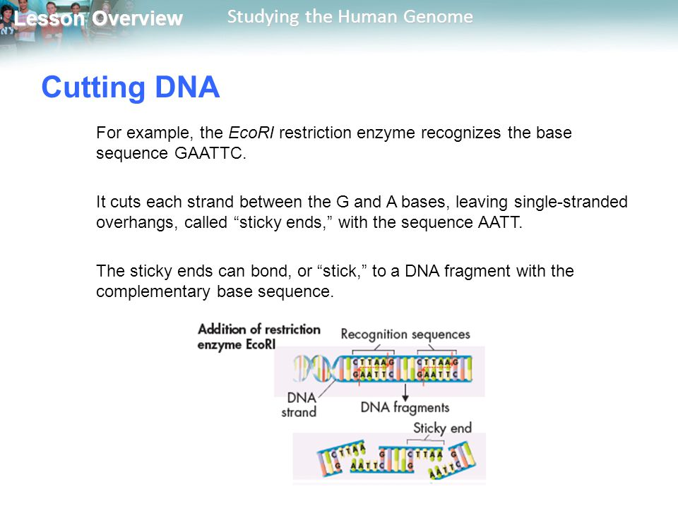 Lesson Overview Lesson Overview Studying the Human Genome Cutting DNA For example, the EcoRI restriction enzyme recognizes the base sequence GAATTC. I