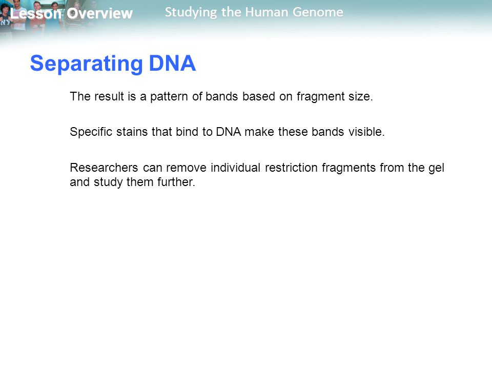 Lesson Overview Lesson Overview Studying the Human Genome Separating DNA The result is a pattern of bands based on fragment size. Specific stains that