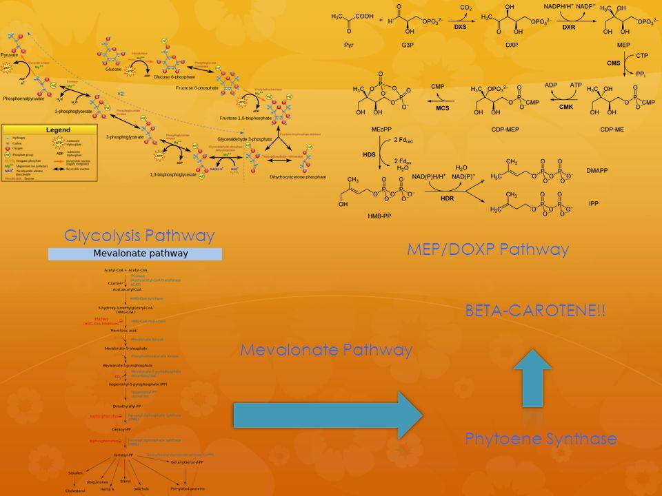 Glycolysis Pathway MEP/DOXP Pathway Mevalonate Pathway Phytoene Synthase BETA-CAROTENE!!
