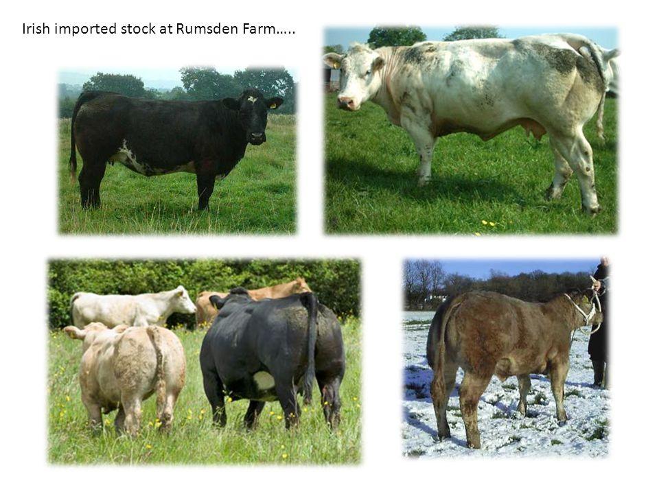 Irish imported stock at Rumsden Farm…..