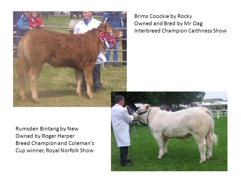Brims Coockie by Rocky Owned and Bred by Mr Oag Interbreed Champion Caithness Show Rumsden Bintang by New Owned by Roger Harper Breed Champion and Coleman's Cup winner, Royal Norfolk Show