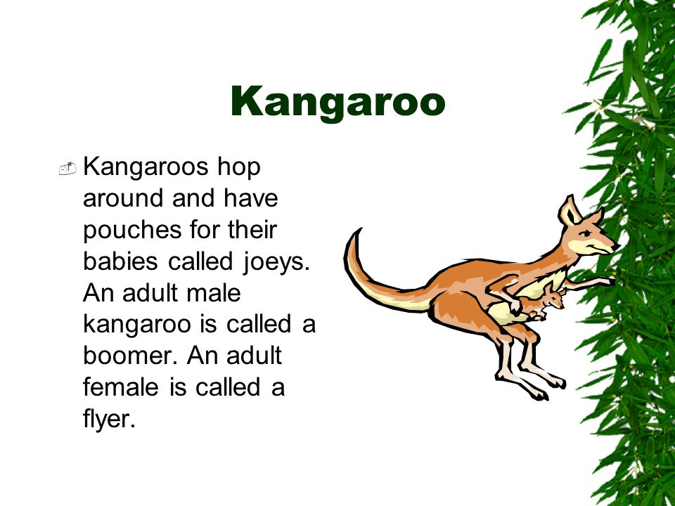 Kangaroo  Kangaroos hop around and have pouches for their babies called joeys.