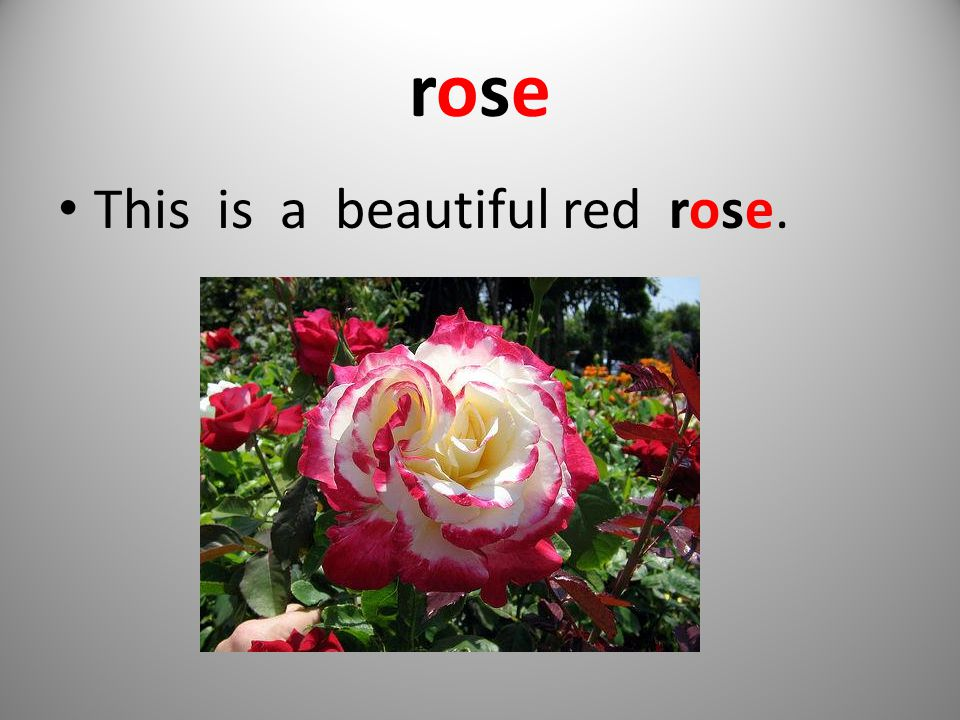 roserose This is a beautiful red rose.