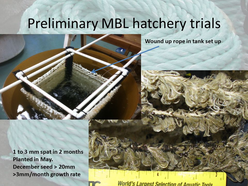 Preliminary MBL hatchery trials Wound up rope in tank set up 1 to 3 mm spat in 2 months Planted in May.