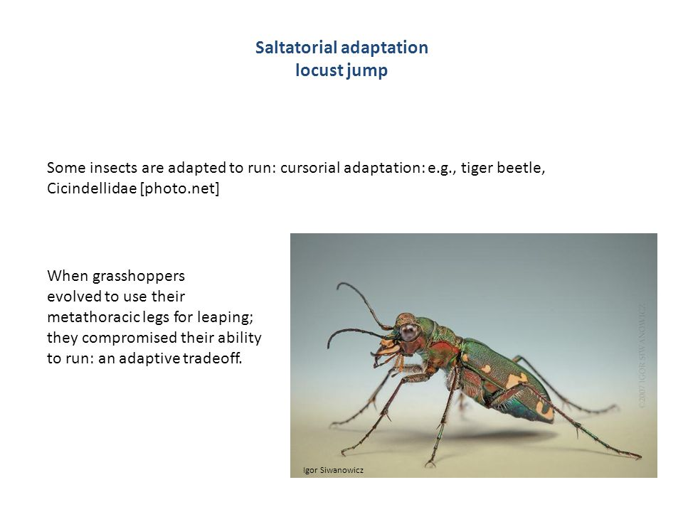 Saltatorial adaptation locust jump Some insects are adapted to run: cursorial adaptation: e.g., tiger beetle, Cicindellidae [photo.net] When grasshoppers evolved to use their metathoracic legs for leaping; they compromised their ability to run: an adaptive tradeoff.