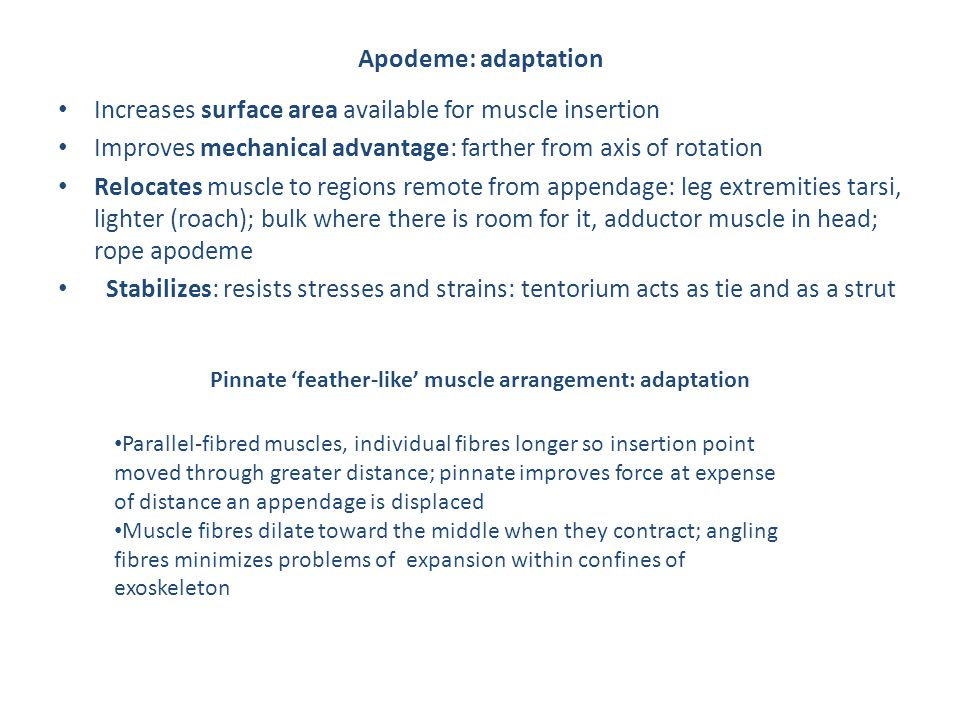 Apodeme: adaptation Increases surface area available for muscle insertion Improves mechanical advantage: farther from axis of rotation Relocates muscle to regions remote from appendage: leg extremities tarsi, lighter (roach); bulk where there is room for it, adductor muscle in head; rope apodeme Stabilizes: resists stresses and strains: tentorium acts as tie and as a strut Pinnate 'feather-like' muscle arrangement: adaptation Parallel-fibred muscles, individual fibres longer so insertion point moved through greater distance; pinnate improves force at expense of distance an appendage is displaced Muscle fibres dilate toward the middle when they contract; angling fibres minimizes problems of expansion within confines of exoskeleton
