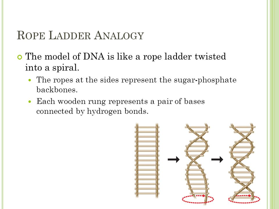 R OPE L ADDER A NALOGY The model of DNA is like a rope ladder twisted into a spiral.