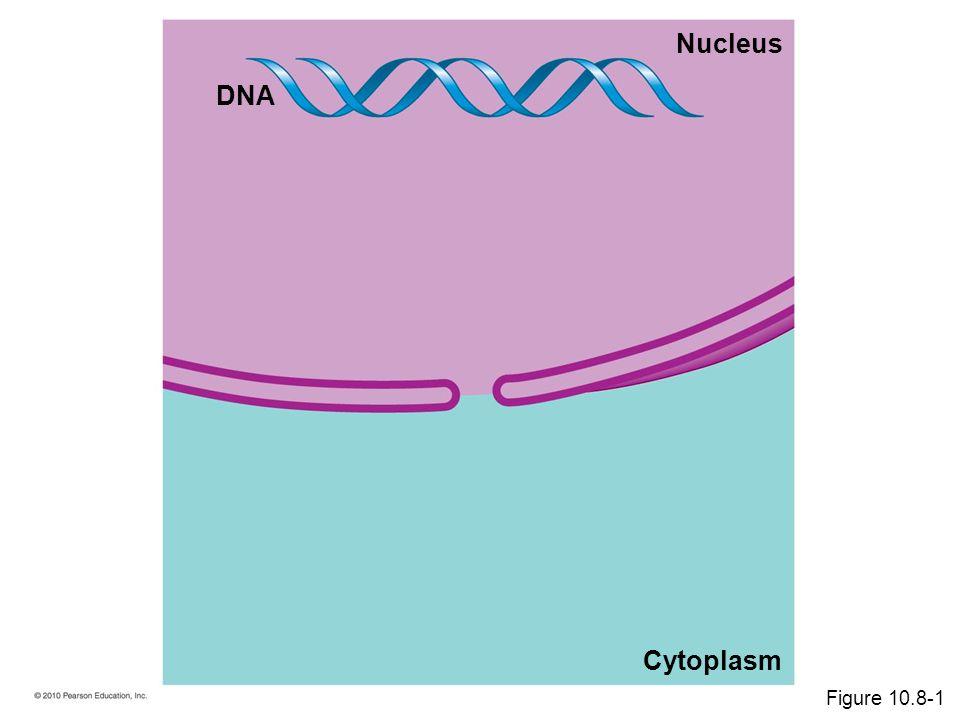 DNA Cytoplasm Nucleus Figure 10.8-1
