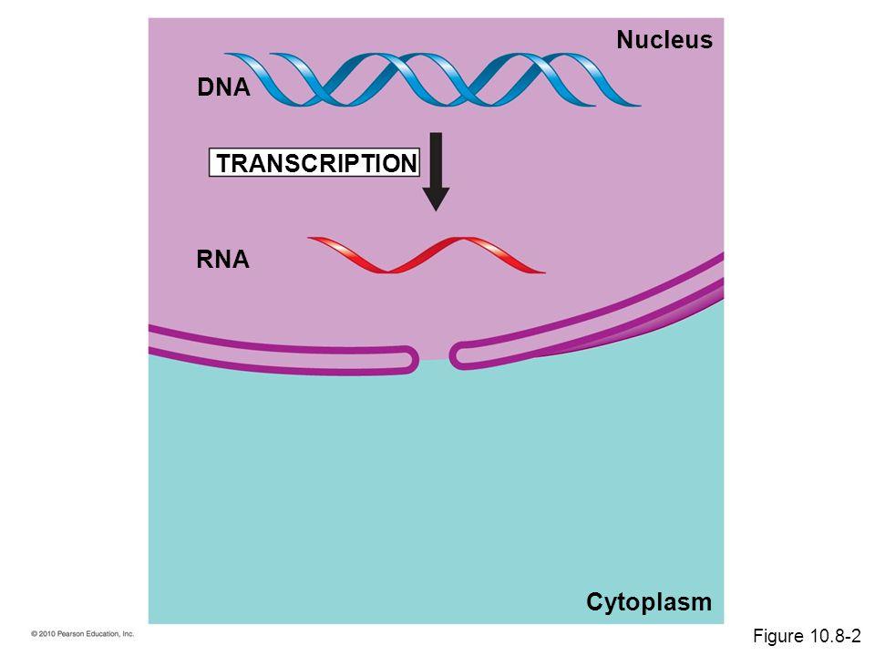 RNA TRANSCRIPTION DNA Cytoplasm Nucleus Figure 10.8-2