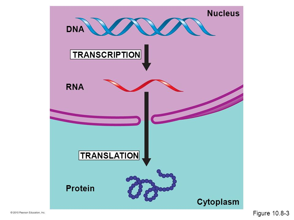 TRANSLATION Protein RNA TRANSCRIPTION DNA Cytoplasm Nucleus Figure 10.8-3