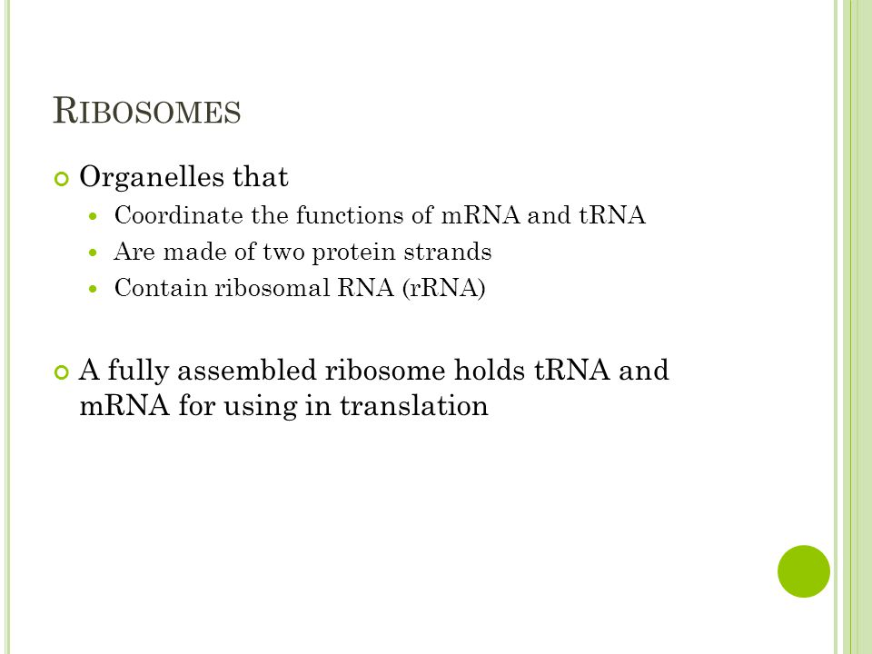R IBOSOMES Organelles that Coordinate the functions of mRNA and tRNA Are made of two protein strands Contain ribosomal RNA (rRNA) A fully assembled ribosome holds tRNA and mRNA for using in translation