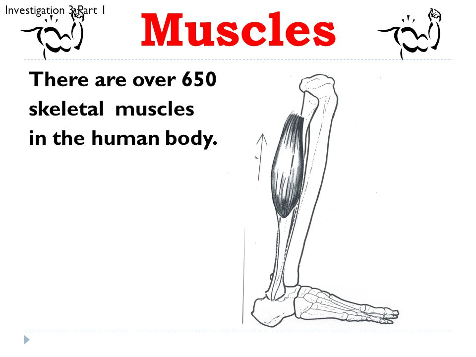 Muscles  Muscles are responsible for all body movements.