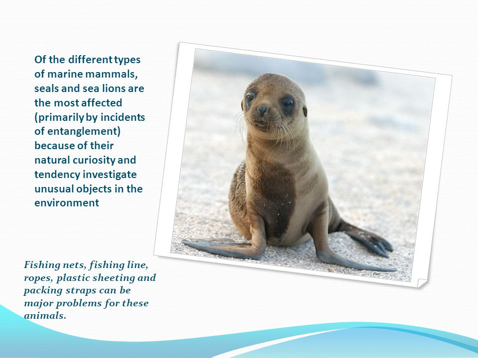 Of the different types of marine mammals, seals and sea lions are the most affected (primarily by incidents of entanglement) because of their natural curiosity and tendency investigate unusual objects in the environment Fishing nets, fishing line, ropes, plastic sheeting and packing straps can be major problems for these animals.