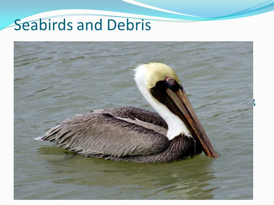 Seabirds and Debris Thousands of seabirds are thought to die from entanglement or ingestion each year.