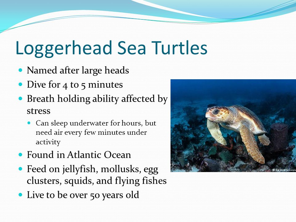 Loggerhead Sea Turtles Named after large heads Dive for 4 to 5 minutes Breath holding ability affected by stress Can sleep underwater for hours, but need air every few minutes under activity Found in Atlantic Ocean Feed on jellyfish, mollusks, egg clusters, squids, and flying fishes Live to be over 50 years old