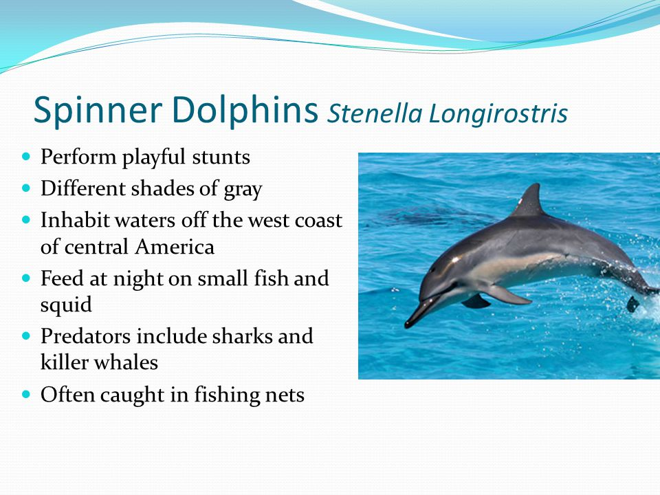Spinner Dolphins Stenella Longirostris Perform playful stunts Different shades of gray Inhabit waters off the west coast of central America Feed at night on small fish and squid Predators include sharks and killer whales Often caught in fishing nets