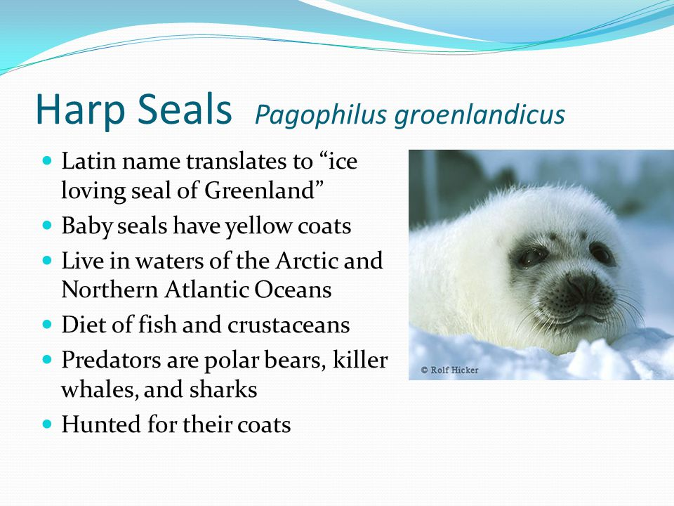 Harp Seals Pagophilus groenlandicus Latin name translates to ice loving seal of Greenland Baby seals have yellow coats Live in waters of the Arctic and Northern Atlantic Oceans Diet of fish and crustaceans Predators are polar bears, killer whales, and sharks Hunted for their coats