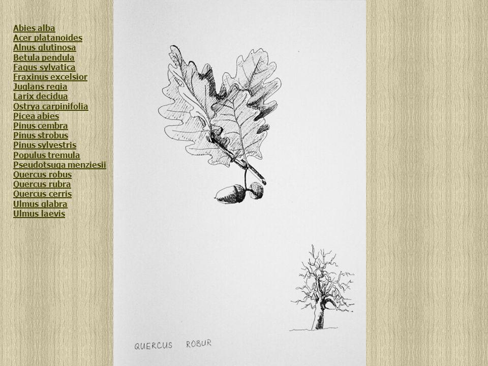 Quercus robus Abies alba Acer platanoides Alnus glutinosa Betula pendula Fagus sylvatica Fraxinus excelsior Juglans regia Larix decidua Ostrya carpinifolia Picea abies Pinus cembra Pinus strobus Pinus sylvestris Populus tremula Pseudotsuga menziesii Quercus robus Quercus rubra Quercus cerris Ulmus glabra Ulmus laevis