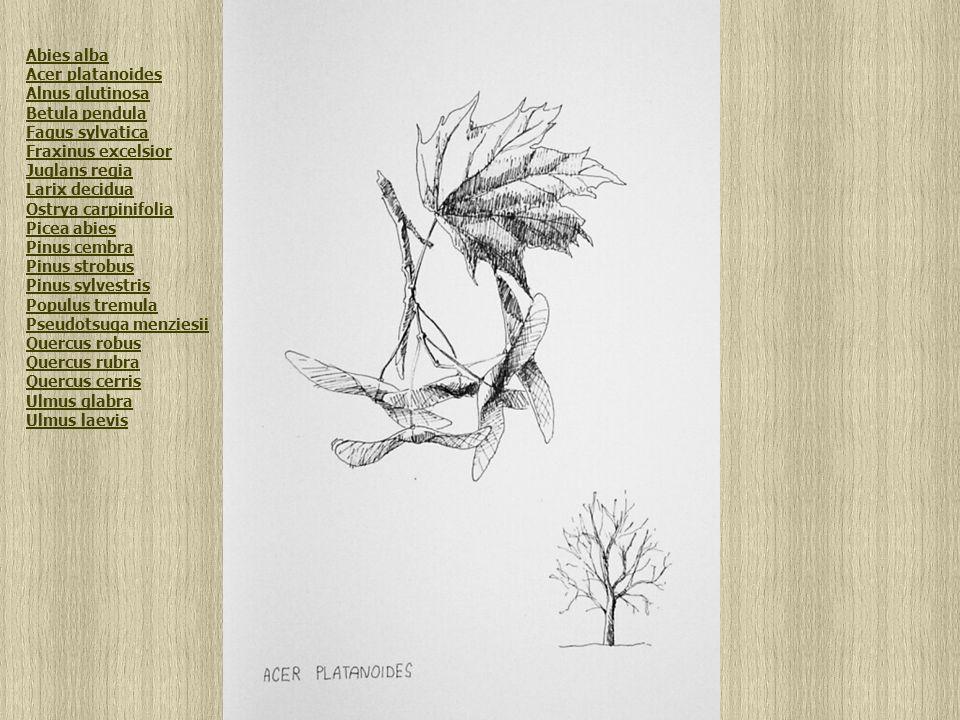 Acer platanoides Abies alba Acer platanoides Alnus glutinosa Betula pendula Fagus sylvatica Fraxinus excelsior Juglans regia Larix decidua Ostrya carpinifolia Picea abies Pinus cembra Pinus strobus Pinus sylvestris Populus tremula Pseudotsuga menziesii Quercus robus Quercus rubra Quercus cerris Ulmus glabra Ulmus laevis