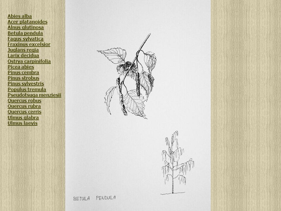 Betula pendula Abies alba Acer platanoides Alnus glutinosa Betula pendula Fagus sylvatica Fraxinus excelsior Juglans regia Larix decidua Ostrya carpinifolia Picea abies Pinus cembra Pinus strobus Pinus sylvestris Populus tremula Pseudotsuga menziesii Quercus robus Quercus rubra Quercus cerris Ulmus glabra Ulmus laevis