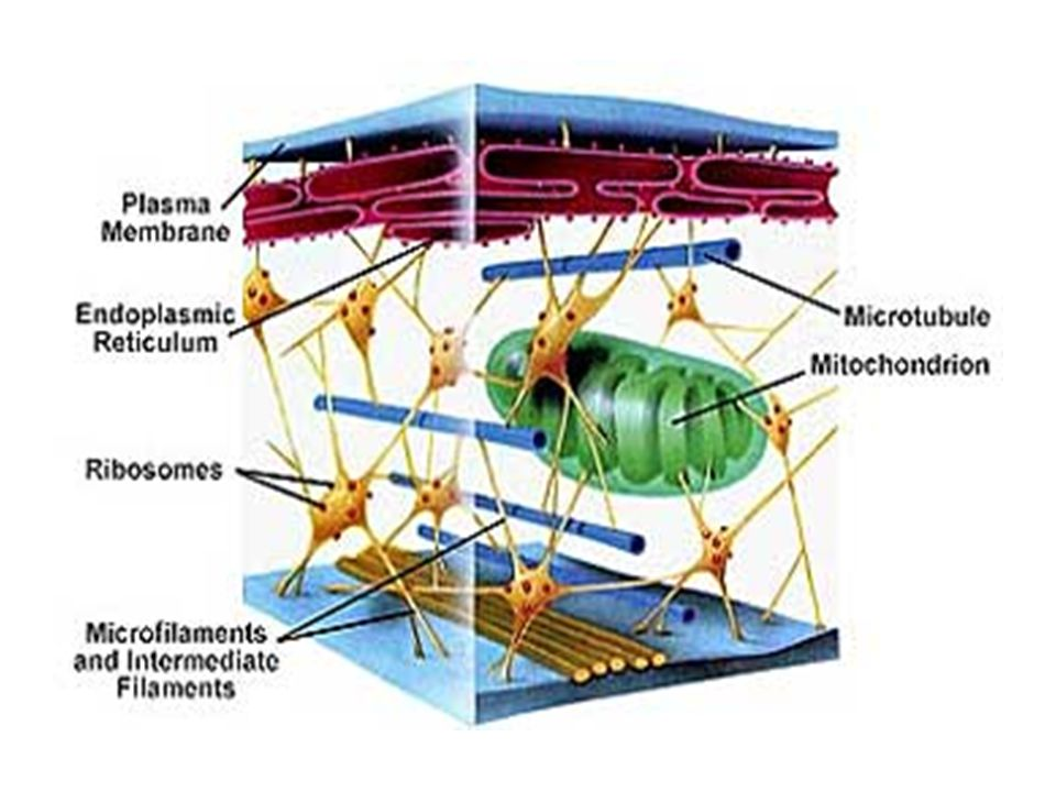 The cytoplasm is ONE of the THREE major parts of the cell.