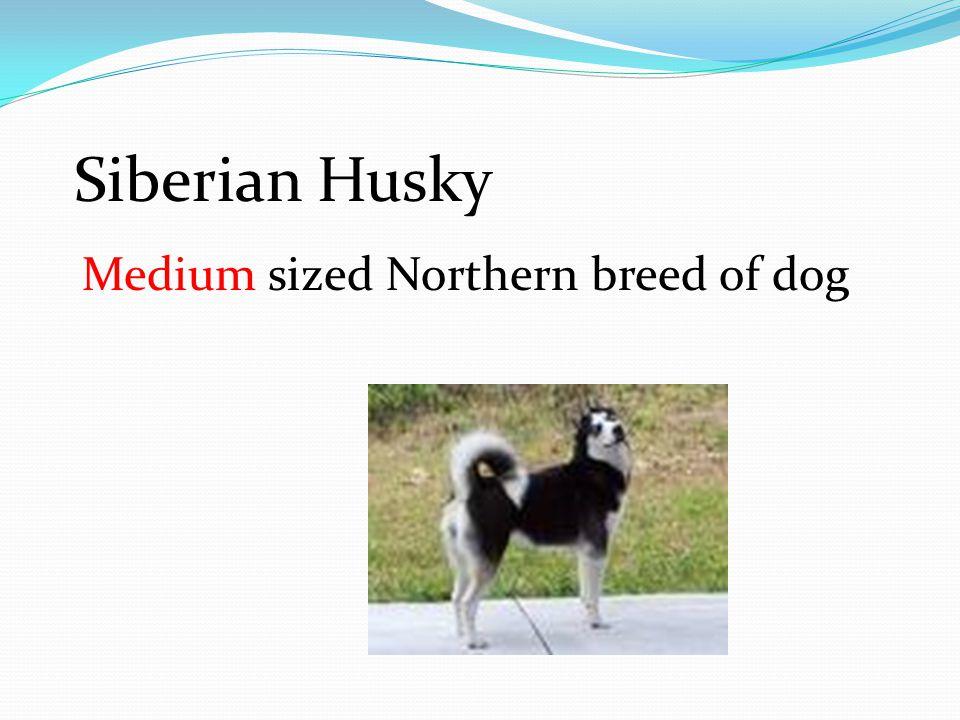 Siberian Husky Medium sized Northern breed of dog