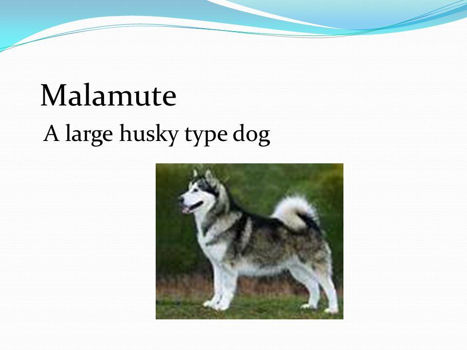 Malamute A large husky type dog