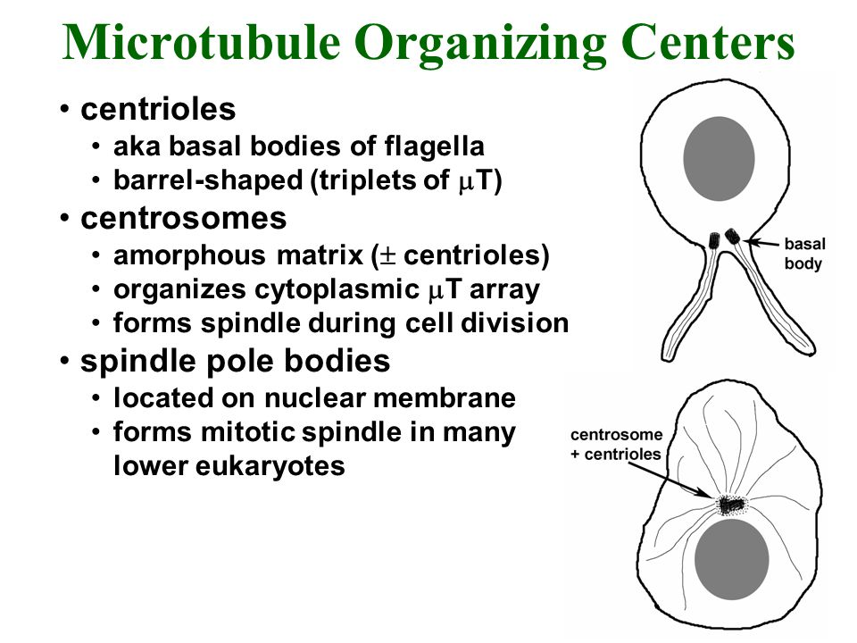 Microtubule Organizing Centers centrioles aka basal bodies of flagella barrel-shaped (triplets of  T) centrosomes amorphous matrix (  centrioles) or