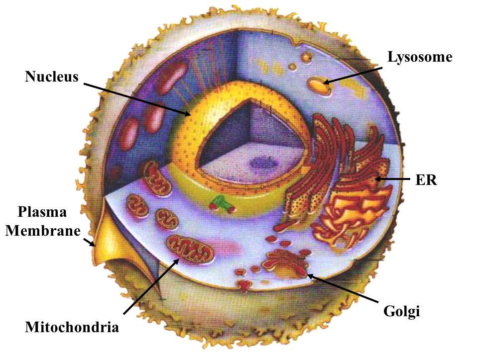 Mitochondria Plasma Membrane Nucleus Lysosome ER Golgi