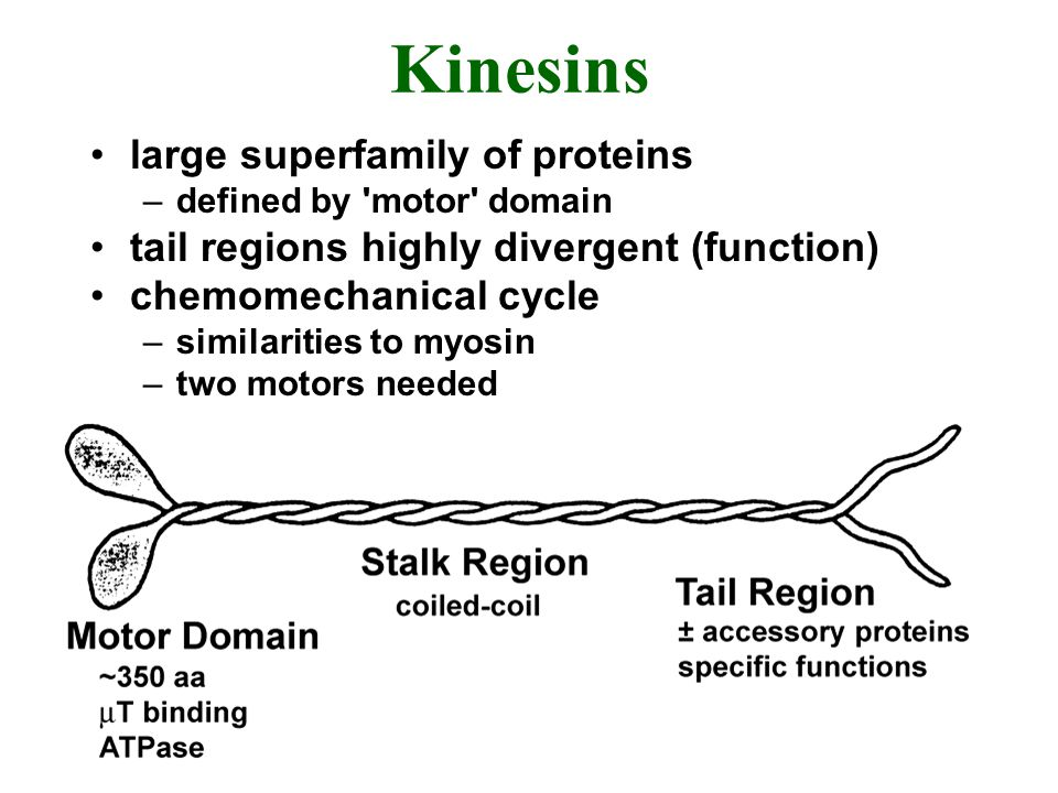 Kinesins large superfamily of proteins –defined by 'motor' domain tail regions highly divergent (function) chemomechanical cycle –similarities to myos