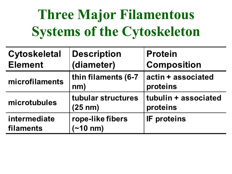 Three Major Filamentous Systems of the Cytoskeleton Cytoskeletal Element Description (diameter) Protein Composition microfilaments thin filaments (6-7
