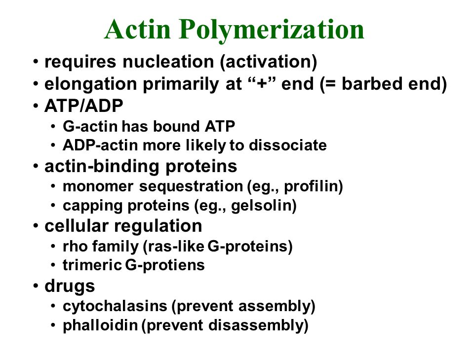 Actin Polymerization requires nucleation (activation) elongation primarily at + end (= barbed end) ATP/ADP G-actin has bound ATP ADP-actin more likely to dissociate actin-binding proteins monomer sequestration (eg., profilin) capping proteins (eg., gelsolin) cellular regulation rho family (ras-like G-proteins) trimeric G-protiens drugs cytochalasins (prevent assembly) phalloidin (prevent disassembly)