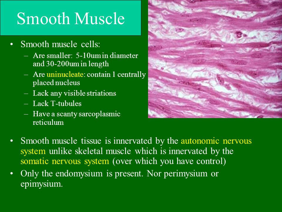 Smooth Muscle Smooth muscle cells: –Are smaller: 5-10um in diameter and 30-200um in length –Are uninucleate: contain 1 centrally placed nucleus –Lack