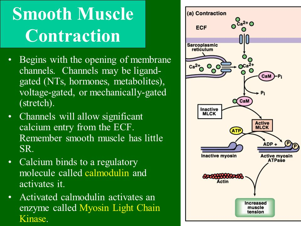 Smooth Muscle Contraction Begins with the opening of membrane channels. Channels may be ligand- gated (NTs, hormones, metabolites), voltage-gated, or