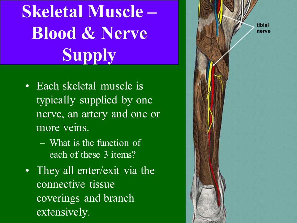 Skeletal Muscle – Blood & Nerve Supply Each skeletal muscle is typically supplied by one nerve, an artery and one or more veins. –What is the function
