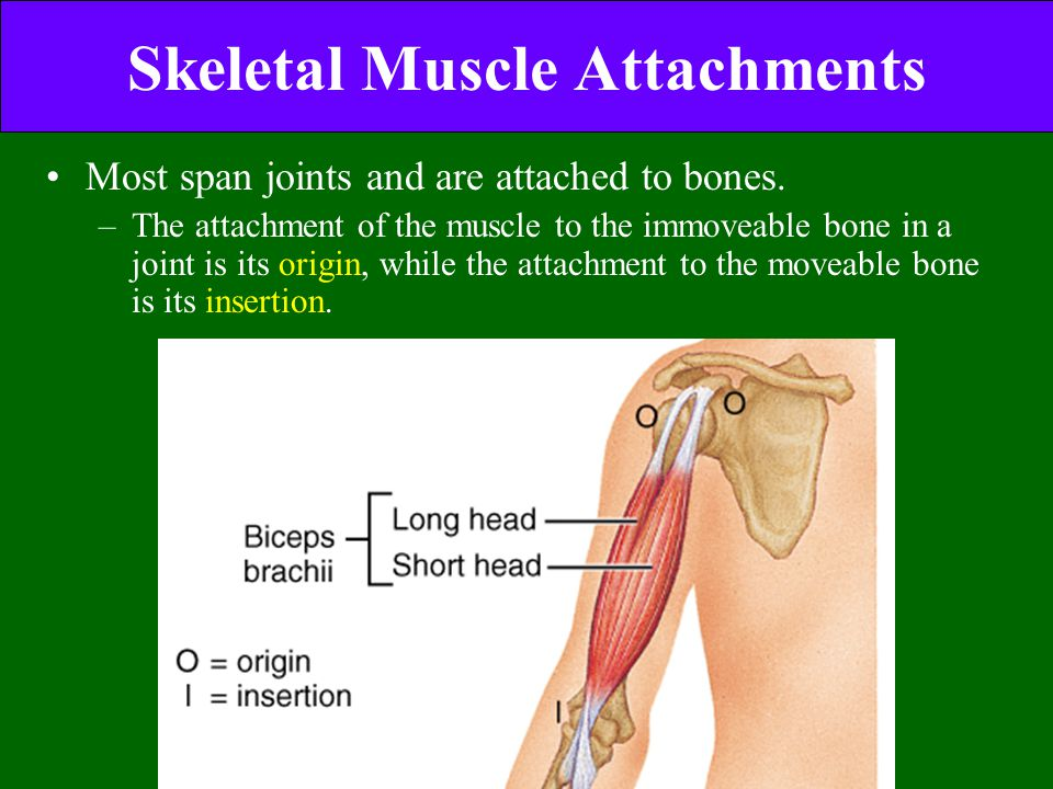 Skeletal Muscle Attachments Most span joints and are attached to bones. –The attachment of the muscle to the immoveable bone in a joint is its origin,