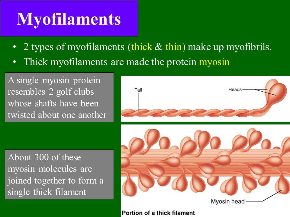 Myofilaments 2 types of myofilaments (thick & thin) make up myofibrils. Thick myofilaments are made the protein myosin A single myosin protein resembl