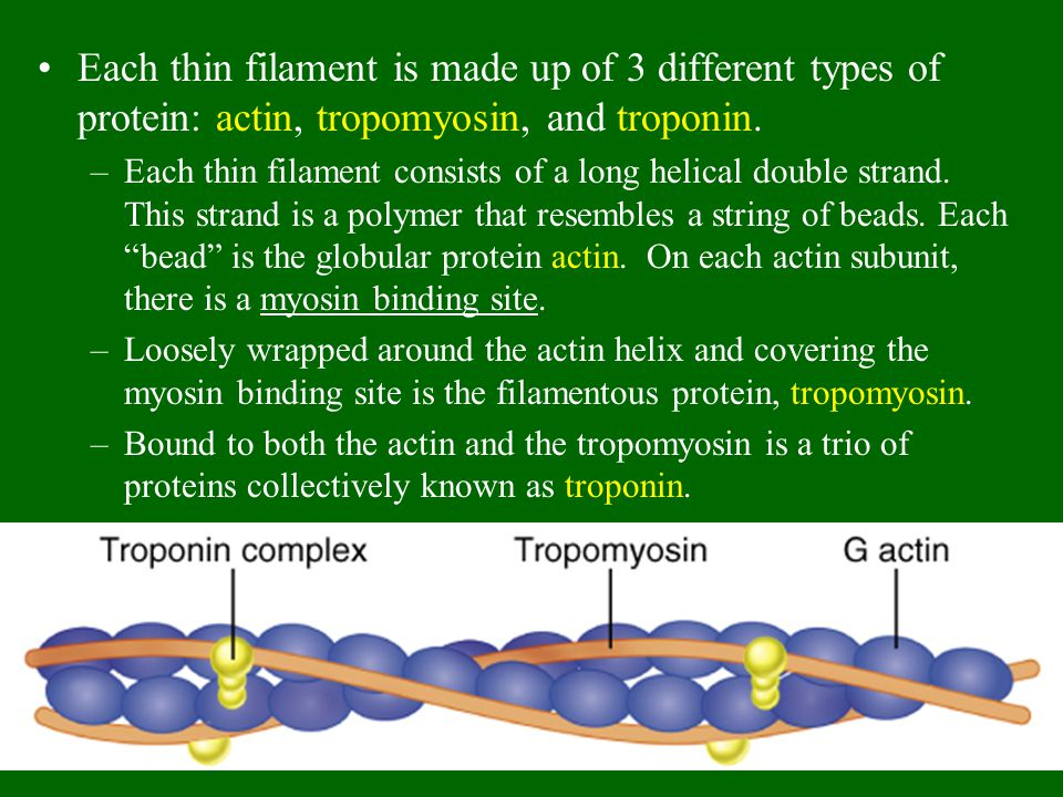Each thin filament is made up of 3 different types of protein: actin, tropomyosin, and troponin. –Each thin filament consists of a long helical double