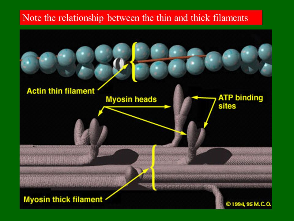 Note the relationship between the thin and thick filaments