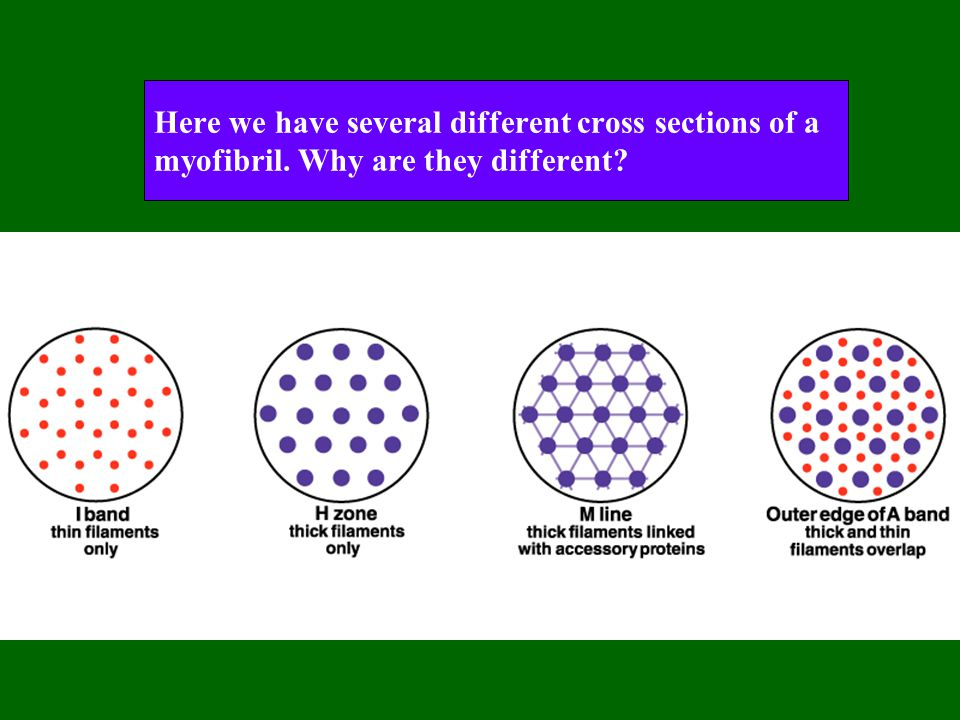 Here we have several different cross sections of a myofibril. Why are they different?