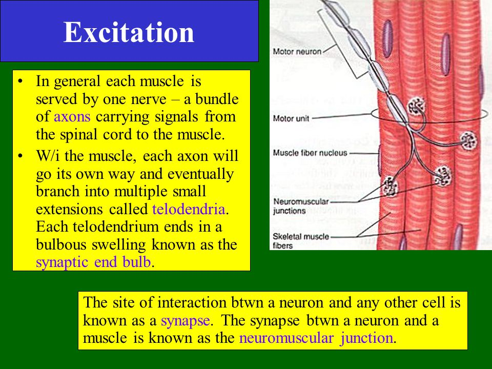 Excitation In general each muscle is served by one nerve – a bundle of axons carrying signals from the spinal cord to the muscle. W/i the muscle, each