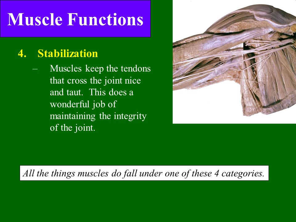 Muscle Functions 4.Stabilization of joints –Muscles keep the tendons that cross the joint nice and taut. This does a wonderful job of maintaining the
